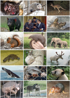 Examples of various mammalian orders Click links below to see originals. Row 1: common vampire bat, Virginia opossum, eastern grey kangaroo. Row 2: Tasmanian devil, انسانs, northern elephant seals. Row 3: fox squirrel, tree pangolin, افریقی ہاتھیs. Row 4: ڈک بل, colugo, رینڈیر. Row 5: humpback whale, star-nosed mole, دیوقامت پانڈا. Row 6: giant armadillo, plains zebras, black and rufous elephant shrew.