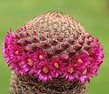Mammillaria matudae (7205358558).jpg