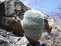 Mammillaria supertexta (5759024204).jpg