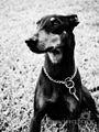 Manchester Terrier.jpg