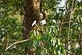 Mangrove Trumpet Tree 06554.jpg