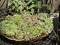 Many Sempervivum species share this basket 2.jpg