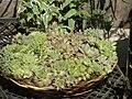 Many Sempervivum species share this basket 2.jpg