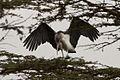 Marabou Stork alighting in Nairobi, Kenya..jpg