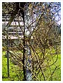 March Spring Rose Botanischer Garten Freiburg - Master Botany Photography 2013 - panoramio.jpg