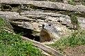 Marmota marmota Tauerntal 20160807 B06.jpg