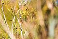 Marsh Wren (23136323280).jpg