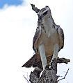 Martial eagle (Polemaetus bellicosus) juvenile (13816936374).jpg