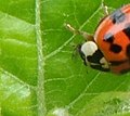Mating ladybugs (Coccinellidae sp.) female eating aphid.jpg