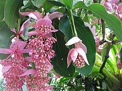 Medinilla magnifica flor.jpg