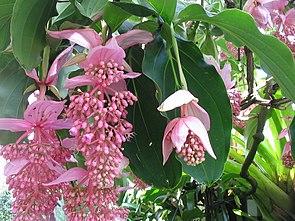 Medinilla magnifica – Blätter und Blüten