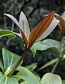 Medinilla sp., Fata Morgana Greenhouse 7.jpg