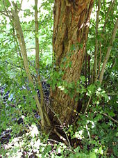 Hawthorn Rootstock On A Medlar Tree In Totnes United Kingdom