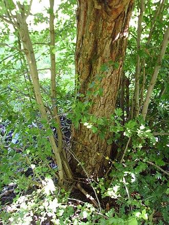 Crataegus - Hawthorn rootstock on a medlar tree in Totnes, United Kingdom.