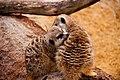 Meerkats Grooming (10464514013).jpg