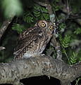 Megascops sanctaecatarinae - Long-tufted Screech Owl.JPG