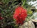 Melaleuca fulgens (flowers 1).JPG