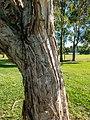 Melaleuca quinquenervia adventitious roots 7th Brigade Park Chermside L1020098.jpg
