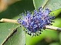 Memecylon umbellatum flowers at Peravoor (38).jpg