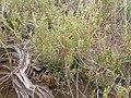 Mentzelia albicaulis (4049303488).jpg