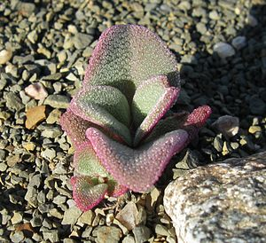 "Aizoaceae - Mesembryanthemum guerichianum seedling, showing the bladder cells that inspired the name ""ice plant""."