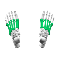 Metatarsal bones01 - superior view.png