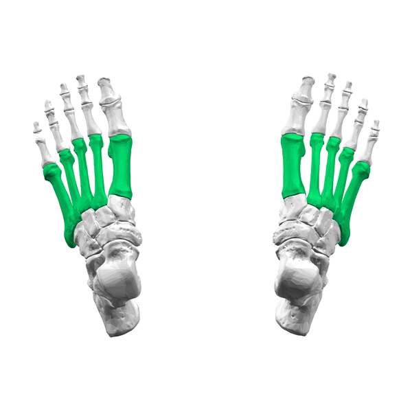 File:Metatarsal bones01 - superior view.png