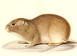 Microcavia australis 1847 - cropping.jpg