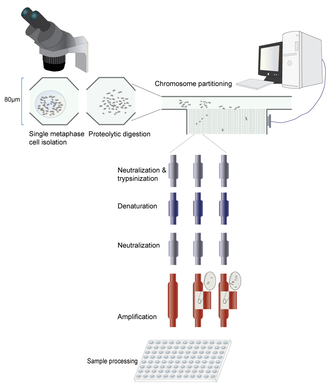 Microfluidic whole genome haplotyping - Workflow of microfluidic whole genome chromosome isolation and amplification. Not at scale