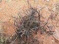 Microloma calycinum PICT2489.JPG