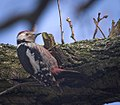 Middle spotted woodpecker (40687257821).jpg
