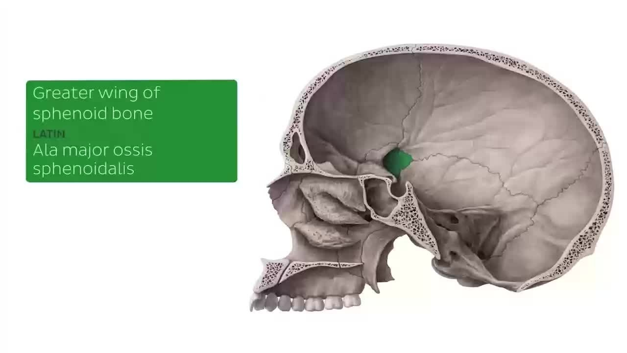 File:Midsagittal section of the Skull (preview) - Human Anatomy ...