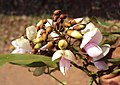 Millettia pinnata aka Pongamia pinnata 04.JPG