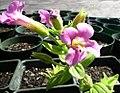 Mimulus lewisii grown in nursery.jpg