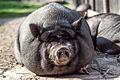 Miniature pig (15167250751).jpg
