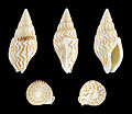 Mitrella blanda 01.JPG