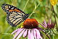 Monarch Butterfly on Purple Coneflower in Michigan (21282613041).jpg