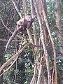 Mono capuchino en el Parque Nacional La Llovizna.jpg