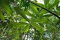 Monodora myristica-Jardin des Plantes de Paris (5).jpg