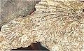 Monotis fossil shells - Kiritehere beach.jpg