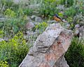 Monticola saxatilis, Toros Mts, Turkey 1.jpg