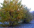 Morus nigra, autumn.JPG