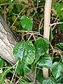Morus nigra - fruit and leaves.jpg