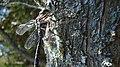 Mosaic Darner (Aeshna sp.) - Thunder Bay, Ontario 2012-08-05.jpg