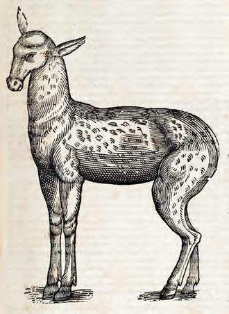 Deer musk - Image: Moschatta