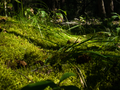 Mosses, Lichens, and Grasses sparkle on the forest floor in Lac La Hache Provincial Park.png