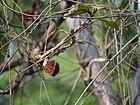 Mothi Kuili (Marathi- मोठी कुइली) (8867711826).jpg