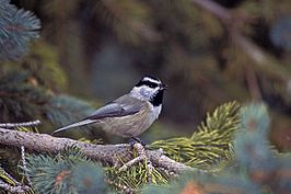 Gambels mees of mountain chickadee