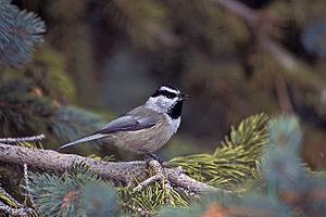 Mountain chickadee - Image: Mountain Chickadee, Santa Fe Ski Area
