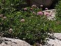 Mountain spiraea, Spiraea splendens (16268966159).jpg